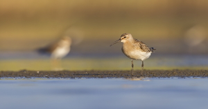 Curlew Sandpiper by Luke Tang
