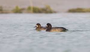 Greater Scaup by Luke Tang