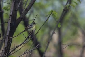 Japanese Yellow Bunting by Zhang Ming