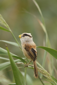 Reed Parrotbill by Bo shunqi